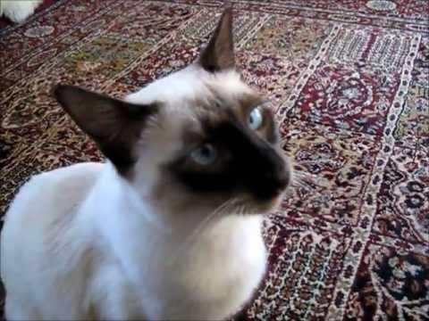 Siamese cat plays fetch - Gato siamés juega traiga como un perro