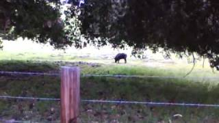 Carmel Valley Wild boar pig (monterey) county tassajara zen mountains