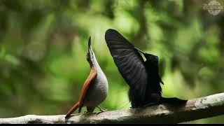 Download Video Cendrawasih The Bird of Paradise in Papua MP3 3GP MP4
