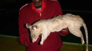 biggest rat i ever seen
