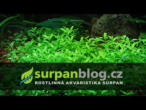 Micranthemum micranthemoides (Pearl grass) - Malokvětka drobnokvětá - aquarium plant (fullHD)