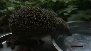 Как пьют воду ёжики. Большой сушняк у ёжика. How hedgehogs drink water. Big hedgehog has dried up