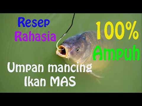 100% Ampuh !!! Umpan ikan mas (LOMBA DAN HARIAN)