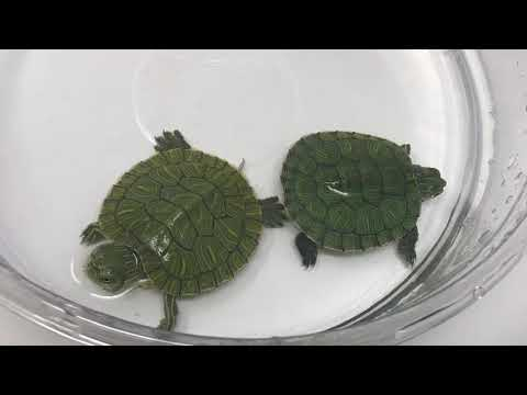 Baby Red Eared Slider Turtles For Sale From Tortoise Town!