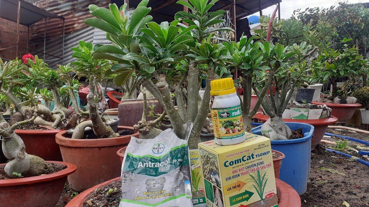 Chia sẻ mấy  loại thuốc bảo vệ cây sứ xanh tốt quanh năm # hoa sứ tây ninh