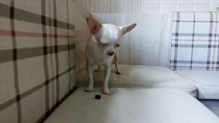 Самая маленькая собачка в мире!!! Чихуахуа! СИМА И ЖУК