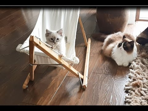 Timo the Cat taught his little brother how to use the hammock (funny)
