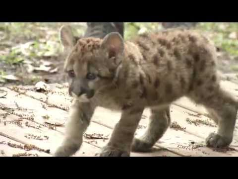An Orphaned Florida Panther's Story - Wildlife at Tampa's Lowry Park Zoo