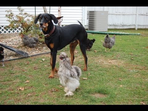 Hens and Hounds 3 - More Talking Animals