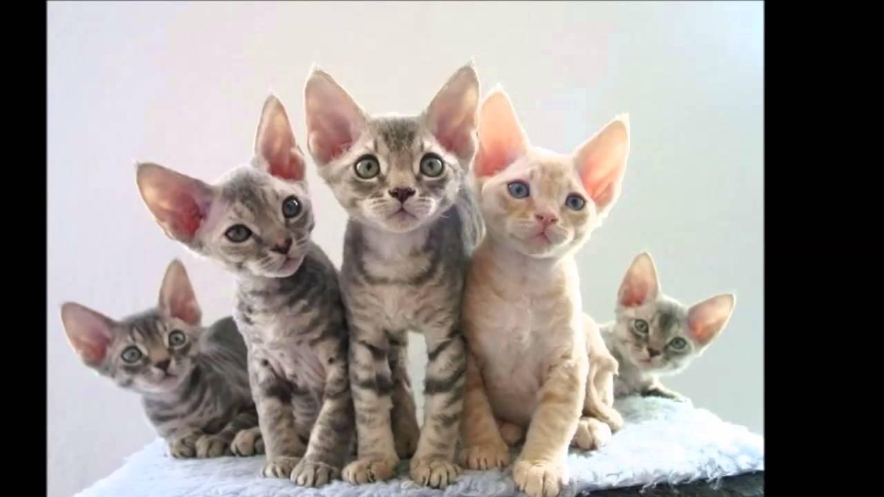 Beautiful photos of cats of breed Devon Rex