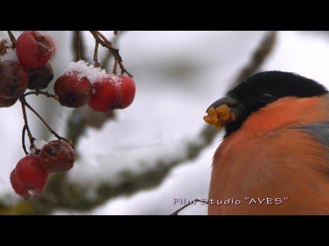 Снегирь (Pyrrhula Pyrrhula) - Bullfinch | Film Studio Aves