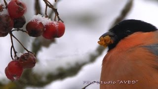 Снегирь и рябина. Bullfinch and rowan. Pyrrhula pyrrhula.