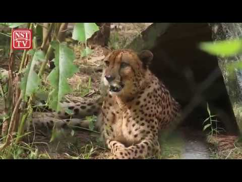 Zoo Negara's King Cheetah one of only 30 in world | New