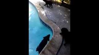 Pure Bred Labrador Retriever Puppies For Sale