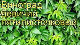Виноград девичий пятилисточковый. Краткий обзор, описание характеристик parthenocissus quinquefolia