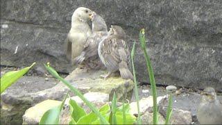 Leucistic sparrow feeding young