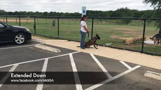 "Aggressive Belgian Malinois ""Heckler"" 