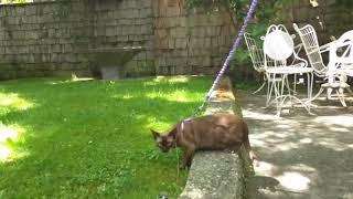 Walking my Burmese cat