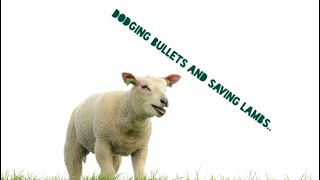 Dodging bullets and saving lambs! Thumbnail