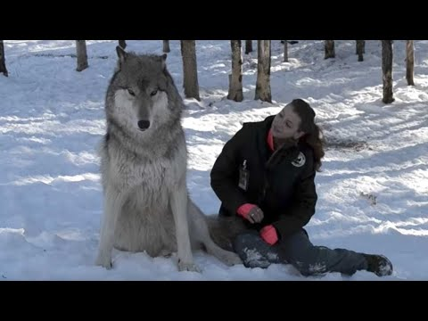 Divovski vuk je sjeo pored nje.Pogledajte šta se događa kada ga pomiluje !