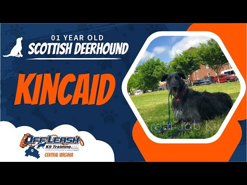 1yo Scottish Deerhound (Kincaid) Best Dog Trainers in Virginia