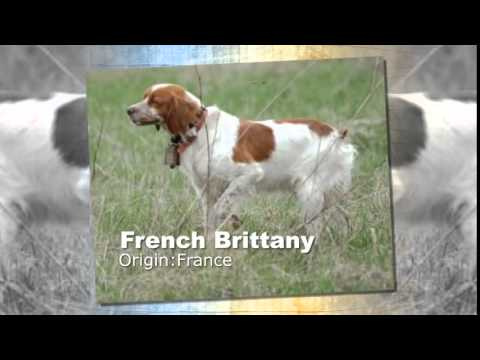 French Brittany Dog Breed