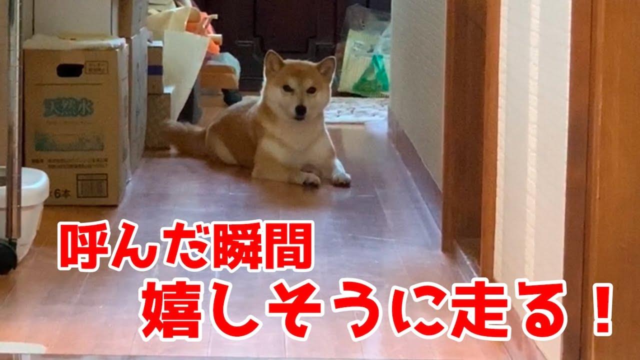 暇そうな柴犬を呼ぶと嬉しそうに走ってきた! shiba inu