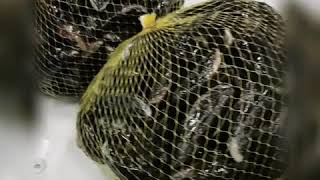 Live Mussels packing - From Sea to Chef