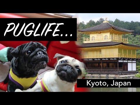 Kyoto's Pug Cafe | Kinkaku-ji Temple | Japan