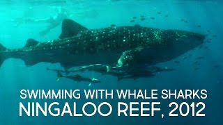 Swimming with whale sharks, Ningaloo Reef, 2012