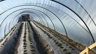 видео: Сколько стоит поставить балаган (туннель, парник ) под клубнику