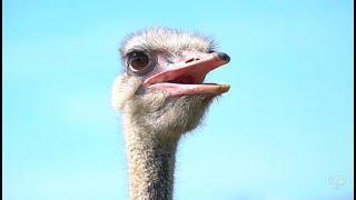 Как делают чёрную икру в Беларуси? Как выращивают страусов и улиток?