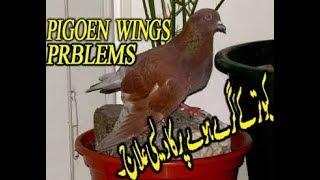 pigeon wing problems|| kabootar ka par kese teek karay # desi elaj