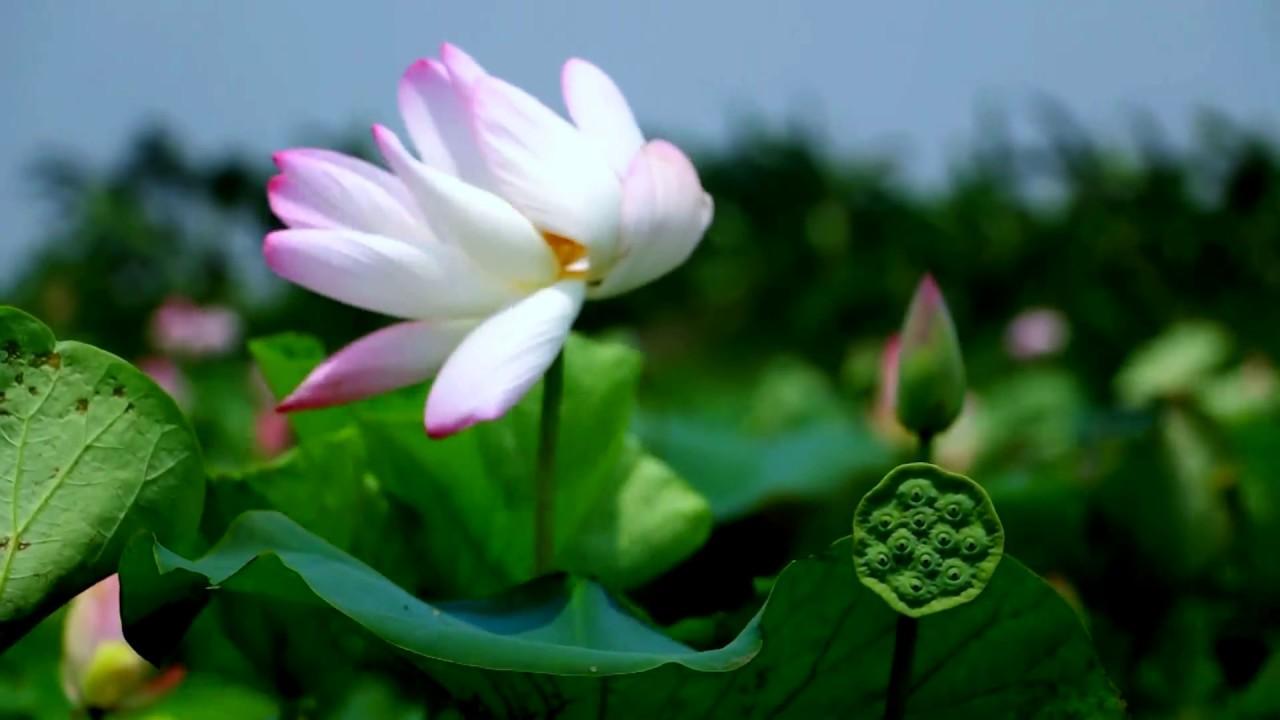 Lotus Fertilizing Water Garden Lotus In Bangladesh