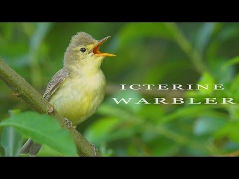Icterine Warbler - The Best European Mockingbird. Singing Bird.
