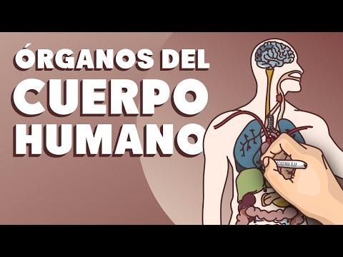 Órganos-del-cuerpo-humano