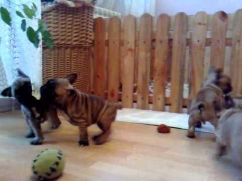 French Bulldog Buldog Francuski Hodowla Corine Bene Te Szczenięta
