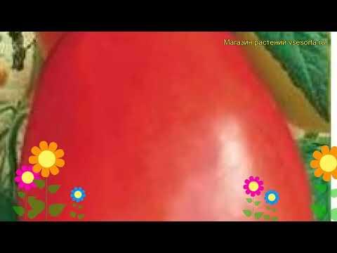 Томат обыкновенный Дульсинея. Краткий обзор, описание характеристик, где купить семена