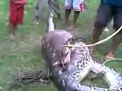 งูยักษ์กินควายเข้าไปทั้งตัว เหตุเกิดที่อินโดนีเซีย
