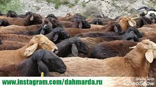 Кучкары гиссарской породы старшего чабана Навруза из Гиссара на перегоне в местечке Хушёри  Варзоб