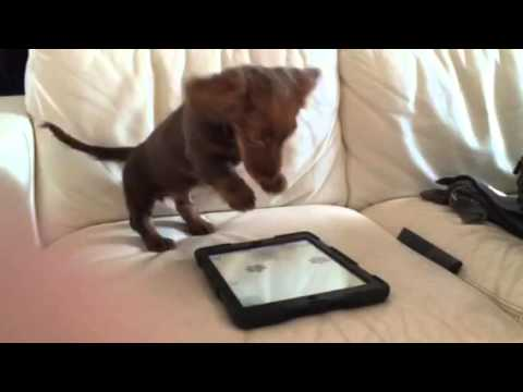 Cute Puppy Plays With iPad App