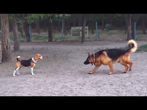 Площадка для собак. Красавец Райд , маленький бигль Нора и Рада.