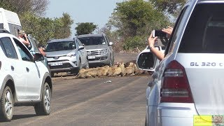 Largest Lion Traffic Jam EVER In Kruger Park. Watch What Happens Next