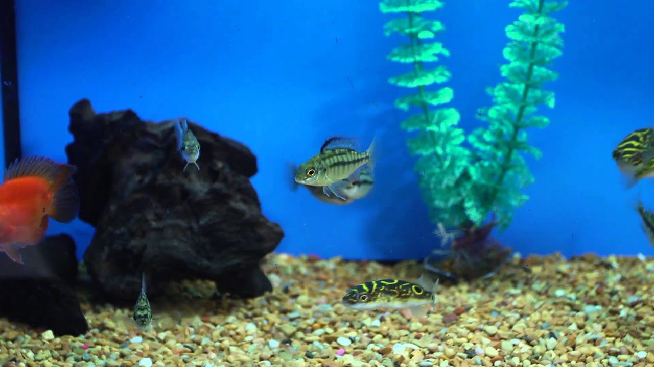 What to feed freshwater puffer fish aquariums fish for Puffer fish aquarium