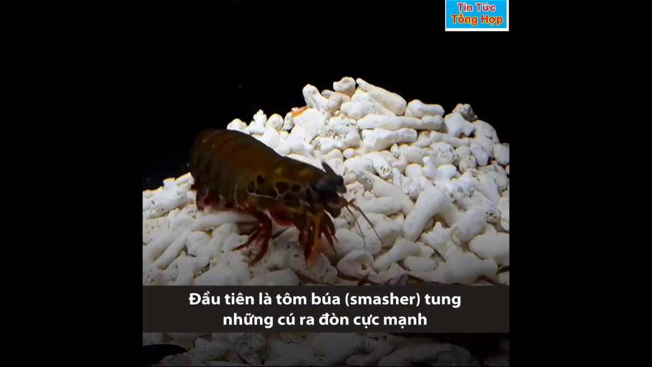 Chuyện Lạ - Thế giới động vật - đạn bắn của tôm tít KINH NGƯỜI