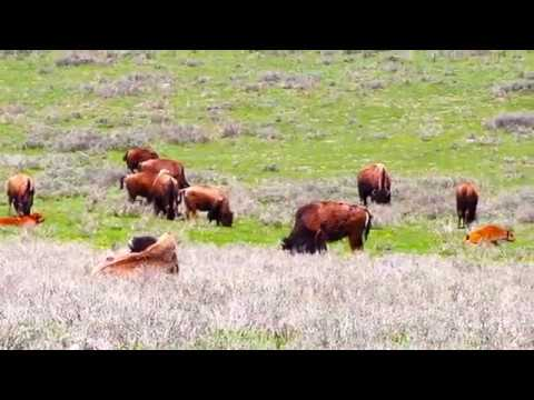 Yellowstone National Park June 2017:  Bears cubs, Bison fights and lots of wildlife