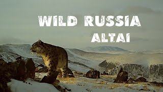 Алтай. Сайлюгемский парк. Снежный барс. Алтайский горный баран. Архар. Snow Leopard. Arkhar. Сибирь.