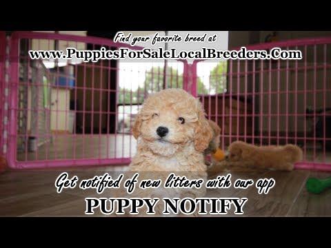 Adorable Bichon Poo Puppies For Sale In Georgia, Local