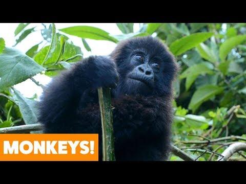 Best of Monkeys   Funny Pet Videos