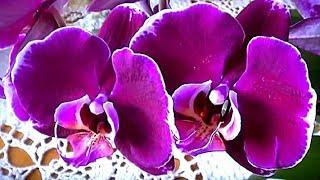 Орхидеи. Что произошло с моими орхидеями после полива чесночной водой.